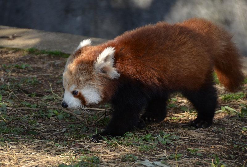 唯一 て いる し を 動物園 は 飼育 日本 レッサーパンダ ニシ で