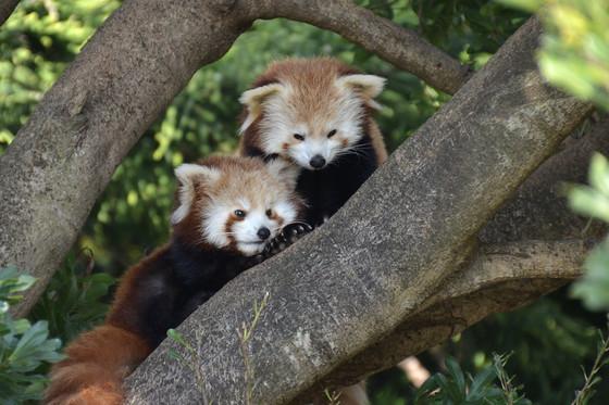 木の上のレッサーパンダの赤ちゃん