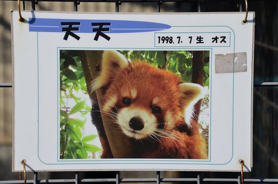 動物園のHPによると、市川でレッサーパンダの飼育が始まったのは1986年。  天天は、そのときに中国から譲り受けた初代パンダの孫に当たる、市川直系の血筋なんだそう