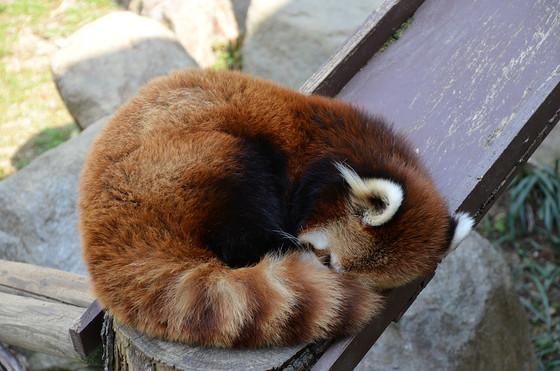 「日本一腰の低いレッサーパンダ」、それがソラなのです。