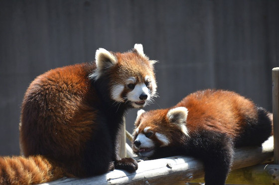 しらたまとみたらしは、とくしま動物園にとって開園以来初めて誕生したレッサーパンダの赤ちゃんでした。  初めてということもあり動物園にとっては手探りな部分もあっ